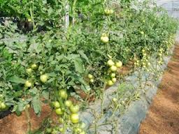 mulching-tomates